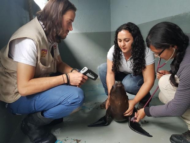 Zoológico de Morelia traslada a lobo marino rescatado