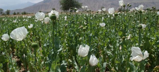 Afganistán: El opio da de comer