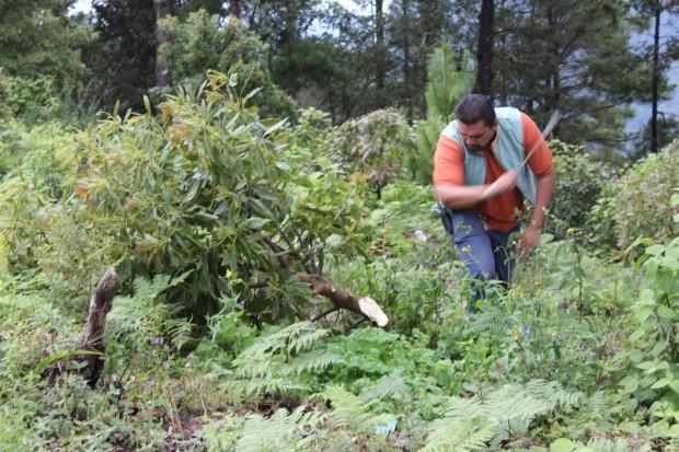 Desmantelan huerta de aguacate, en Madero