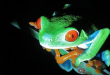 El 40% de las especies de anfibios están en peligro de extinción.