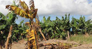 Plantas de banano afectadas por el hongo Fusarium R4T en Filipinas